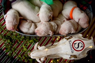 Dogo Argentino Puppies for Sale 3