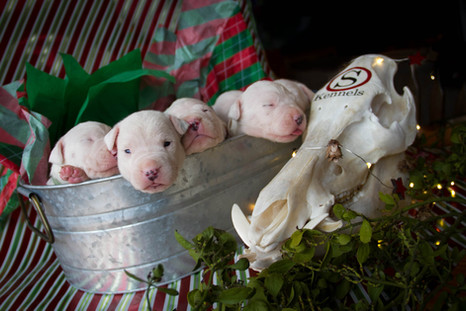 dogo argentino puppies for sale