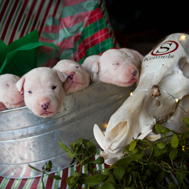 Dogo Argentino Puppies for Sale 7