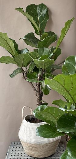 Geigenblätterbaum im Korb