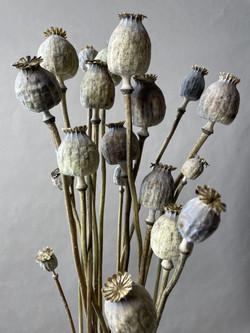 Trockenblumen Mohn