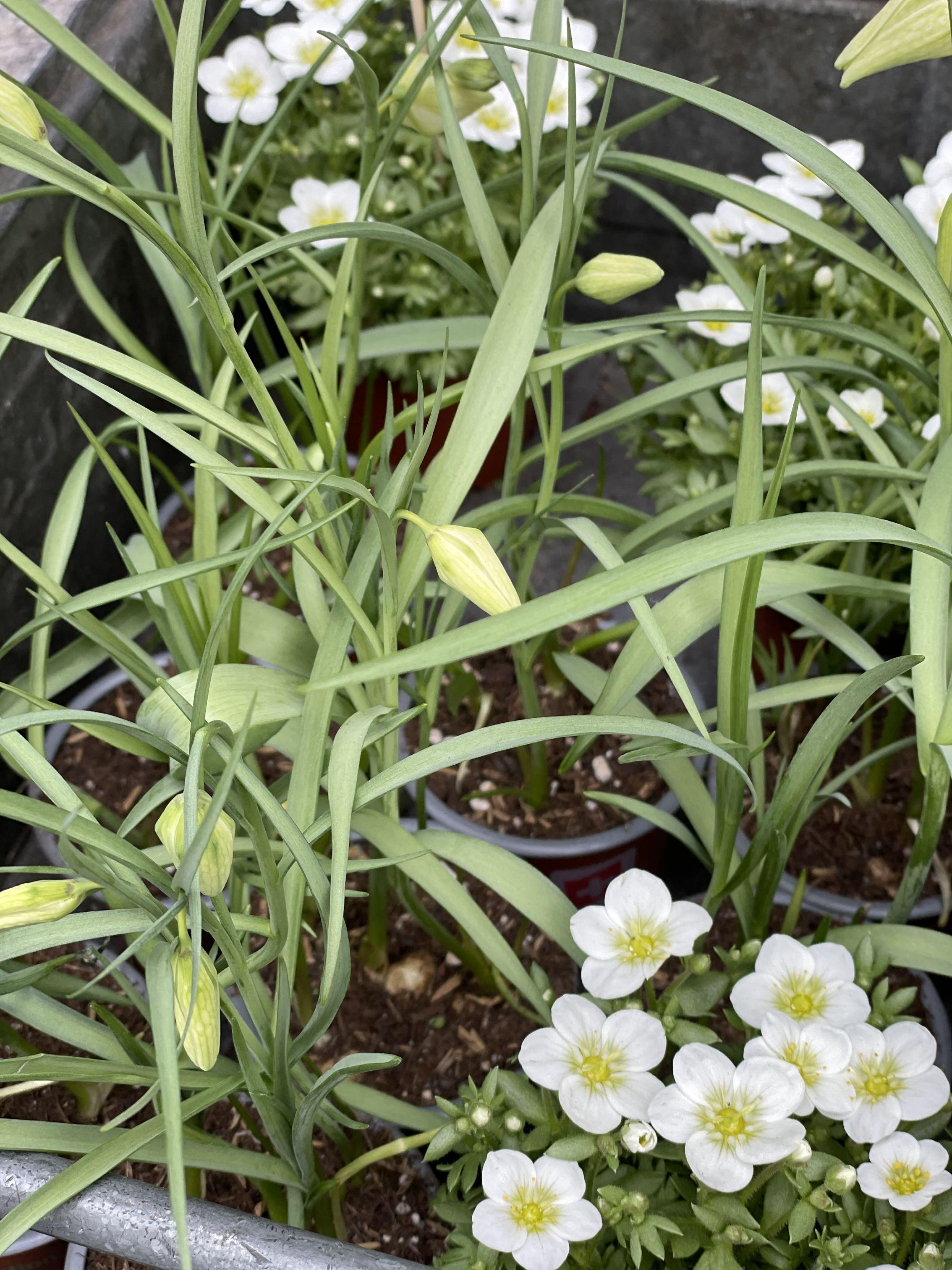 Fritillaria / Saxifraga