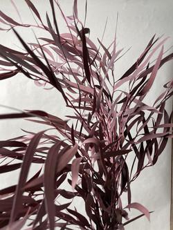Trockenblumen Eukalyptus parvifolia