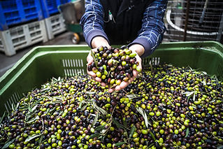 Olives-for-MA-Organic-Food-Article.jpg