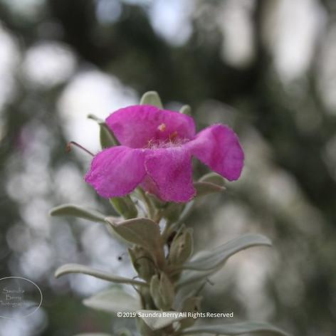 No. 1442 Flower Colorado SBERRY.jpg