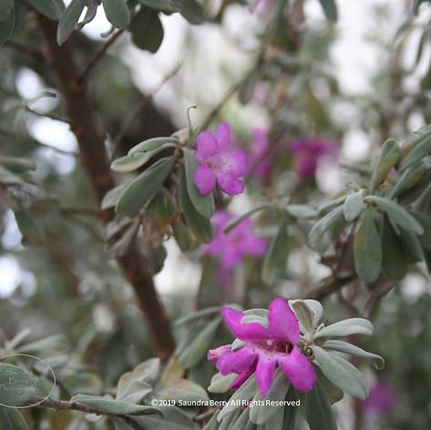 No. 1443 Purple flowers Colorado SBERRY.JPG
