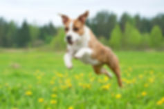 American staffordshire terrier dog playi