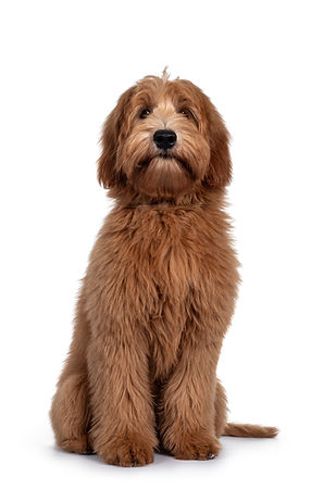 Adorable red / abricot Labradoodle dog p
