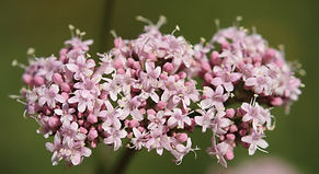 Pink flowers of valerian (Valeriana offi