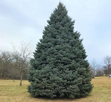 colorado-blue-spruce-3-600x600.jpeg