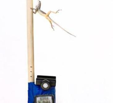 Lizard vs. Hurricane: Natural selection at work