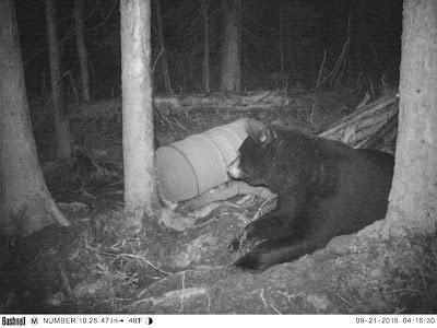 Caçada de Urso preto no Canadá