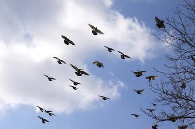 Caça aos pombos