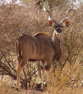 O grande Kudu da Namíbia