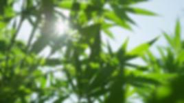 close-up-dof-nice-hemp-plant-leaves-sway