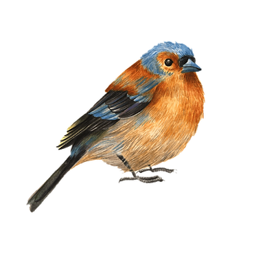 Chaffinch copy.png