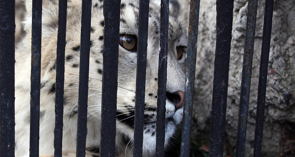Free The Wild - Snow Leopard