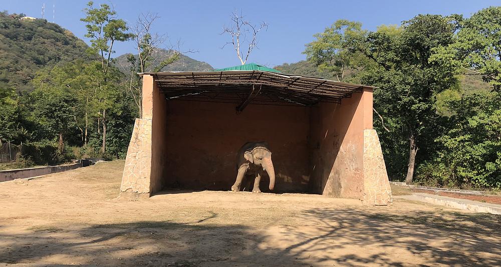 Kaavan - Captive Asian Elephant