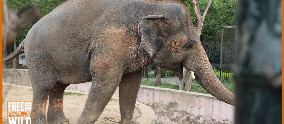 Kaavan Set To Retire To Cambodian Elephant Sanctuary.