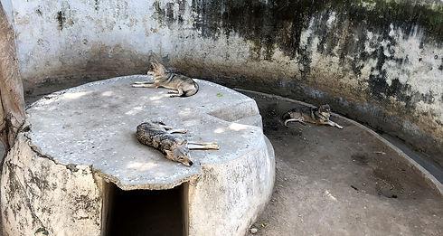 Captive Wolves - Islamabad Zoo