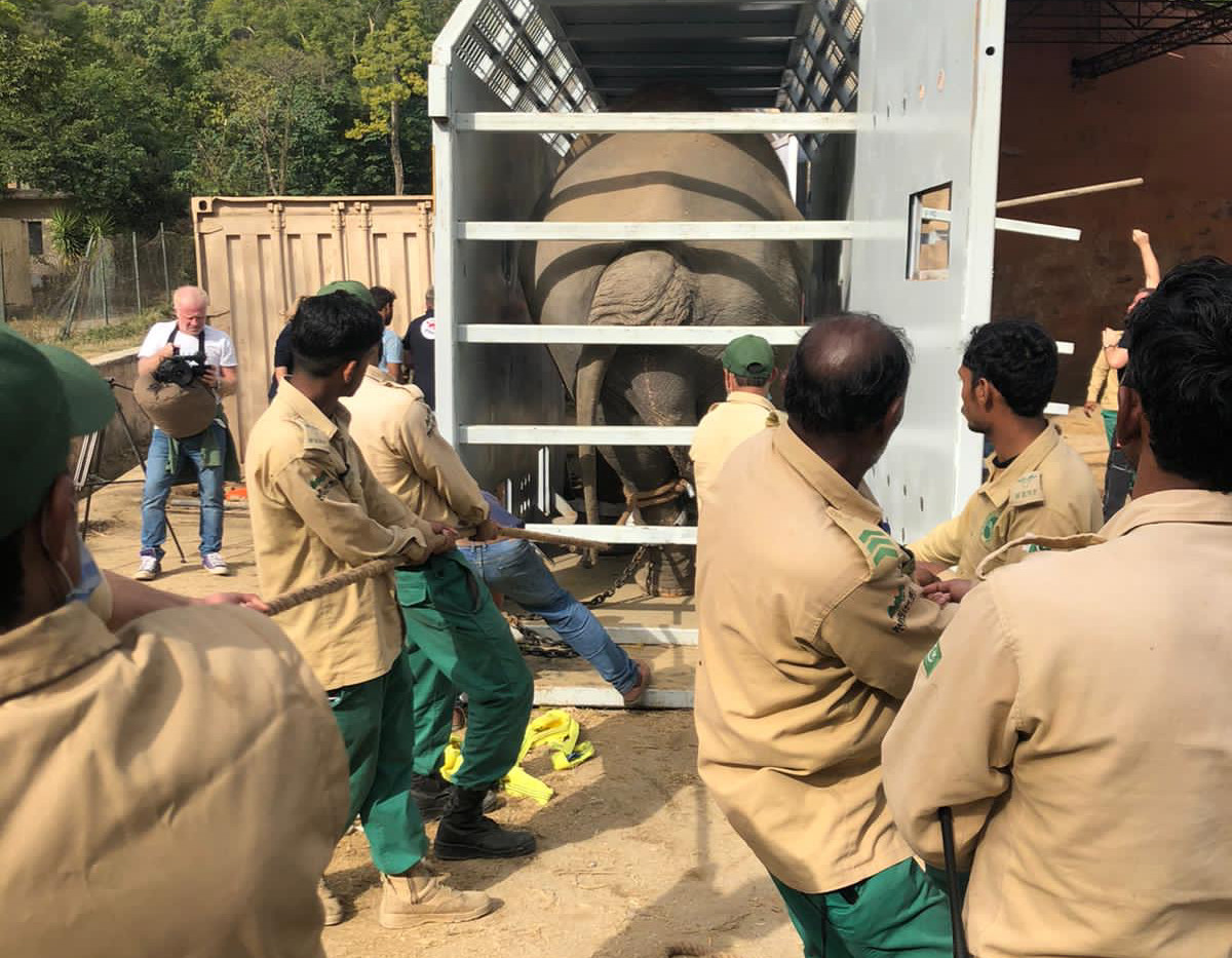 Kaavan being loaded into his crate