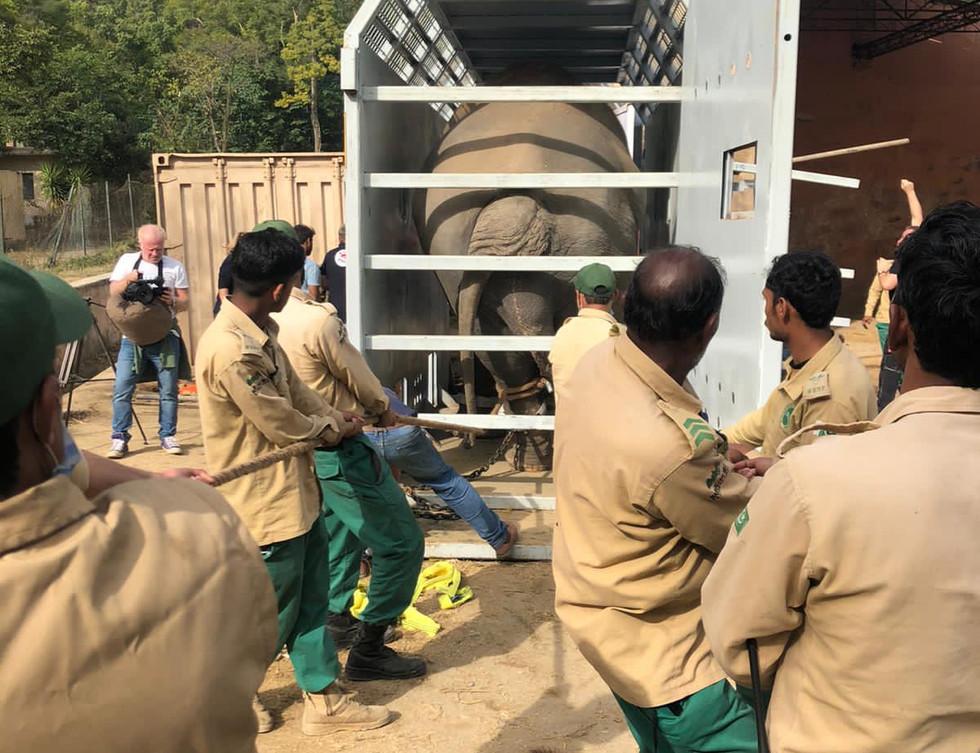 Kaavan being loaded into his crate