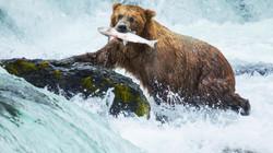 CANADA - Bear Salmon