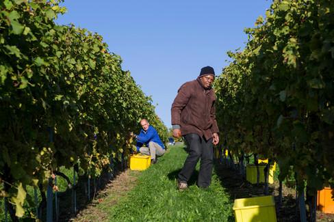 Solidary grape harvest of Paysans solidaires de la région de Morges (PSM)