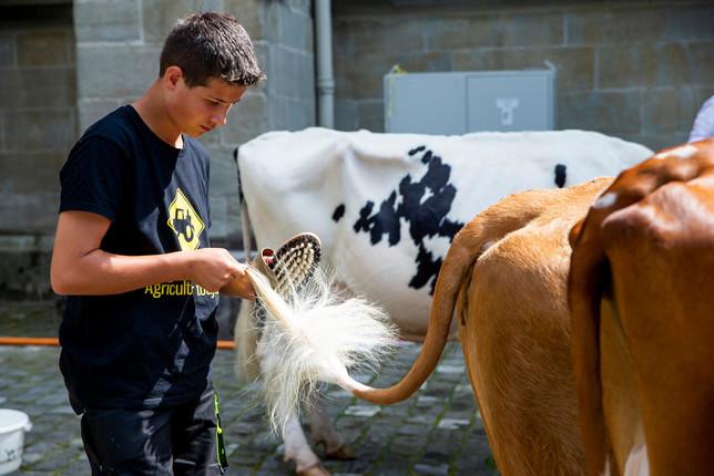L'association élévage La Côte a amené quatre vaches au Parlement Vaudoise pour faire une surprise au nouveau président du Grand Conseil. Jêrome Rohrbach nettoye les vaches