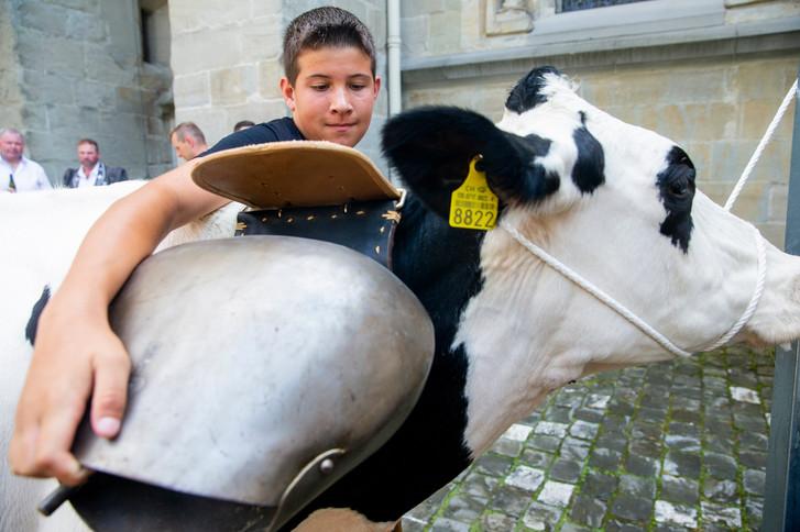 L'association élévage La Côte a amené quatre vaches au Parlement Vaudoise pour faire une surprise au nouveau président du Grand Conseil. Jêrome Rohrbach attache une cloche à la vache
