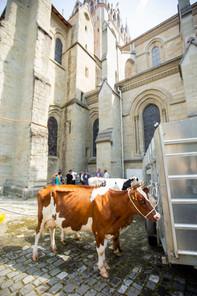 L'association élévage La Côte a amené quatre vaches au Parlement Vaudoise pour faire une surprise au nouveau président du Grand Conseil. Les vaches attendent à la Cathédrale