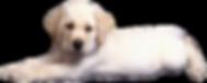 kisspng-labrador-retriever-golden-retrie