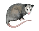 opossum-png-vector-clipart-psd-peoplepng