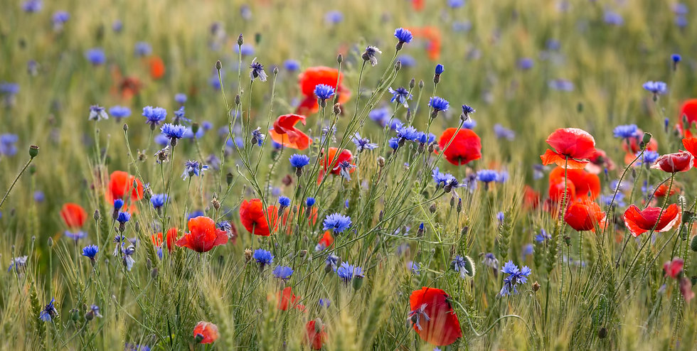 Wild Flower Meadow.jpg