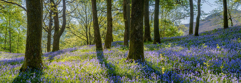 Bluebell Woodland2.jpg