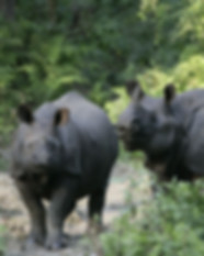 Rhinos in Chitwan.jpg