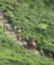 Tea Pickers returning from the field.jpg