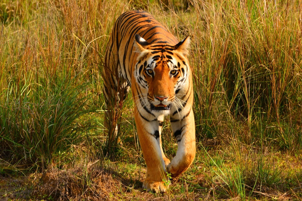 Indian Wildlife Tiger