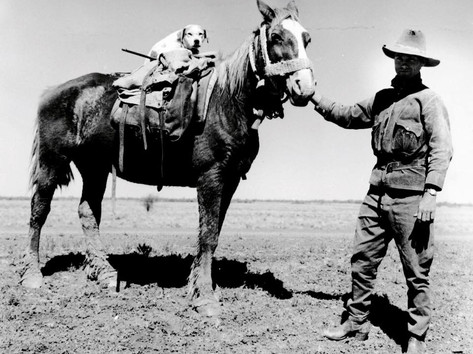 Friday was Take Your Dog to Work Day, and let's face it, in the NT, that could be any day of the week! We have along history of pups on the job. Here is drover Col Bremner on the Barkly Tablelands in the early 1960s, midway through moving 160 horses from Larrimah to Biloela in Queensland, a mere 2500 kilometres. And he was well prepared for such a journey, with his rifle, pack, a horse named Wrinkes and Vincent his dog. Vincent was apparently near retirement age with badly worn paw pads, so Wrinkles had got into the habit of kneeling down when it was time for Vincent to get off.  23 June 2019  Image: Robin Smith, 122423, State Library of Queensland