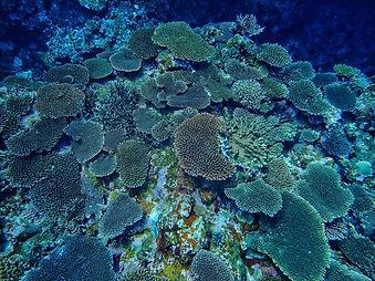 サンゴ.jpg