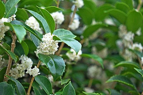 Osmanthus Bouquet