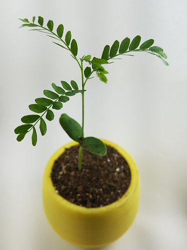 Yellow Pictoree | Grow a Tree Kit