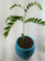 Honey Locusts Sapling in a white flower pot with dirt