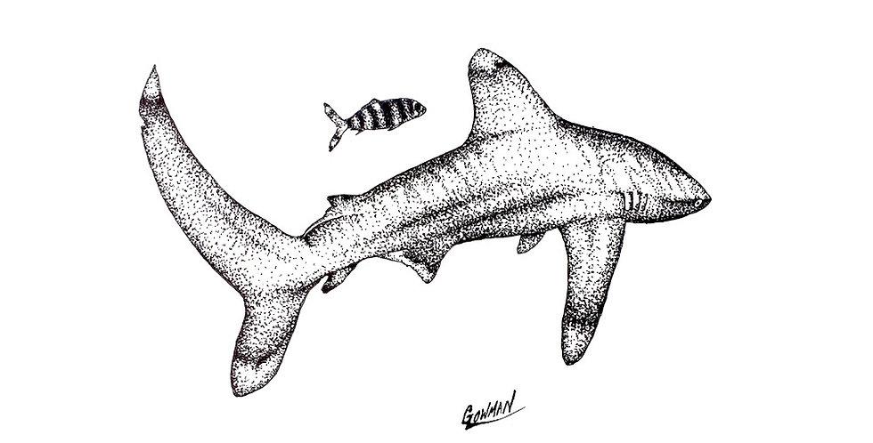 oceanic whitetip shark ink drawing