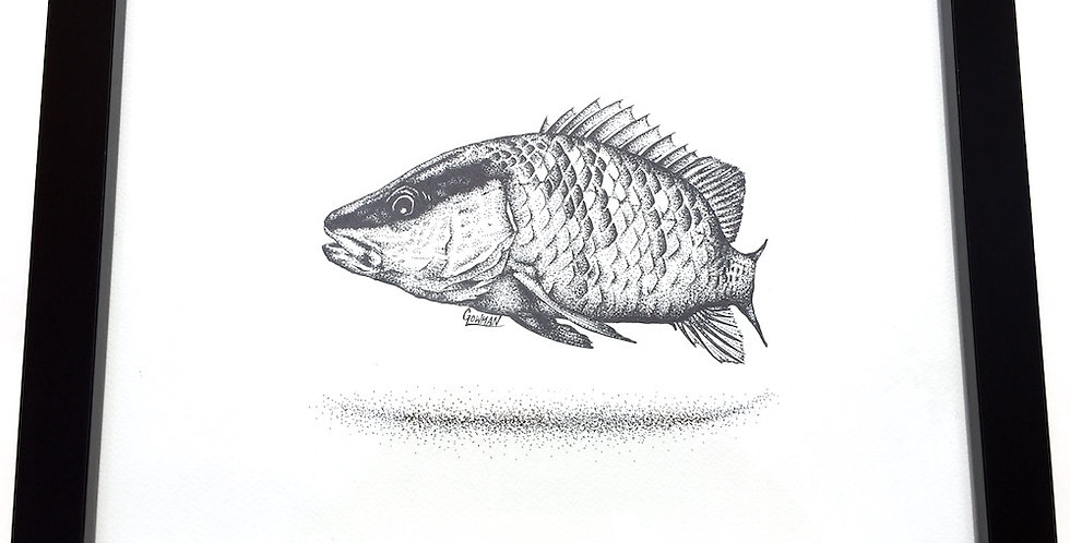 original mangrove snapper (Lutjanus griseus) drawing for sale