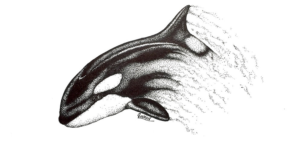 original breaching orca ink drawing for sale