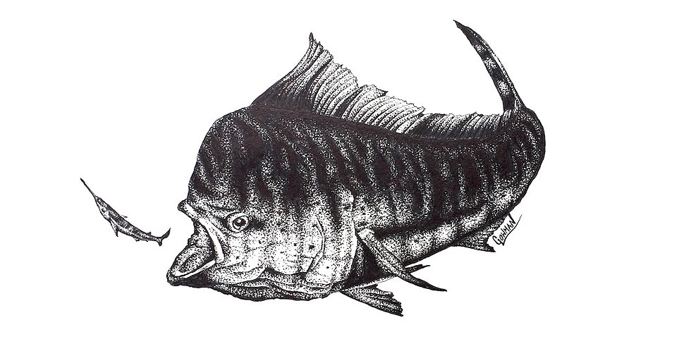 original mahi (dorado) and ballyhoo ink drawing