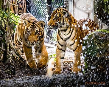 Tiger & Son.jpg