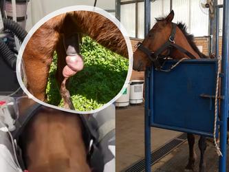 Cavalo resgatado debilitado em TAQUARI/RS passa por cirurgia em Caxias do Sul