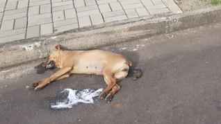 Cadela de rua recém castrada é  envenenada em Taquari/RS